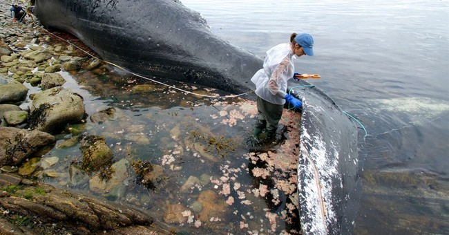 Well-known humpback whale killed in boat collision