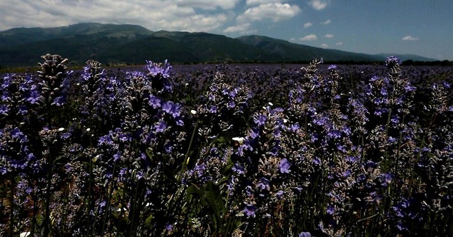 Bulgaria tops lavender oil producers ranking