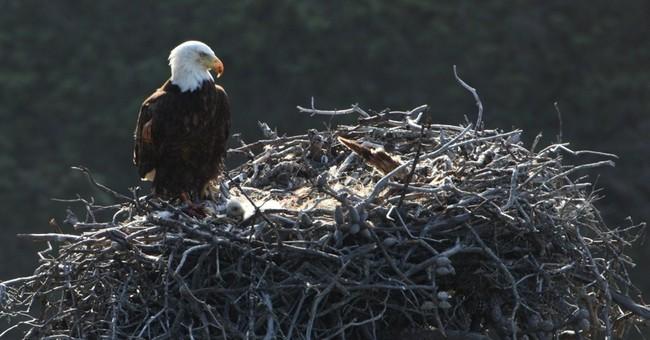 Bald eagles expand territory in California islands
