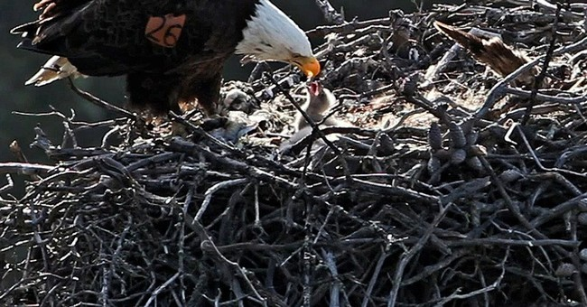 Bald eagles expand territory in California islands