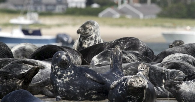 As numbers of gray seals rise, so do conflicts