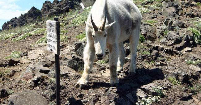 Park to review goat policy after fatal 2010 attack