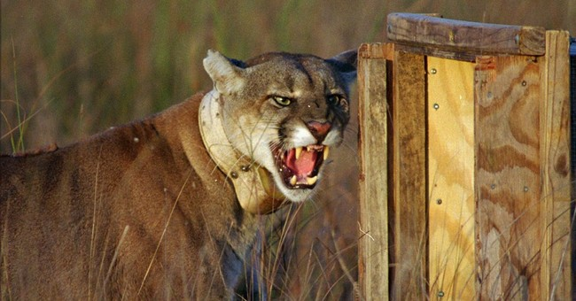 AP Exclusive: Study blames lost calves on panthers