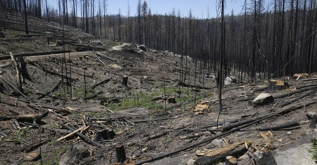 Replant after wildfire or let nature take over?