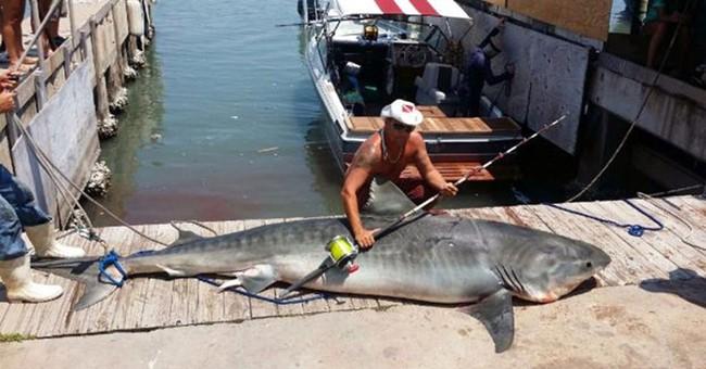 Texas fisherman catches 809-pound tiger shark