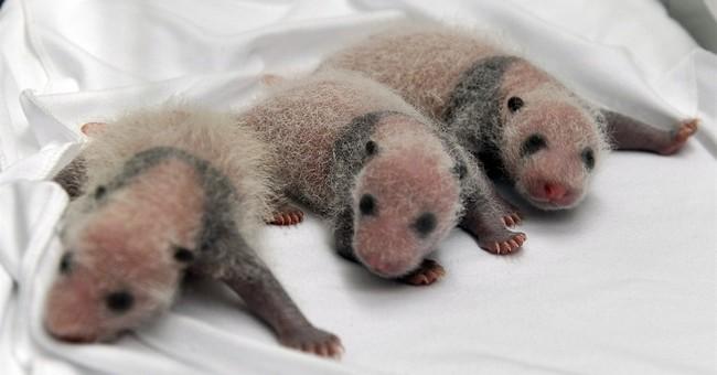 China announces birth of rare panda triplets