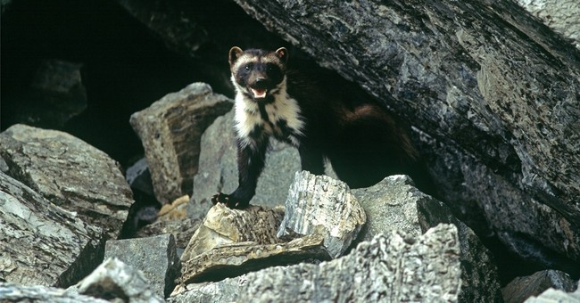 APNewsBreak: Feds reverse course on wolverines