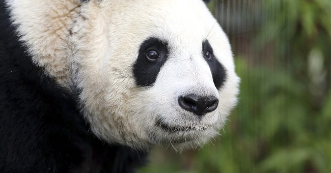 Giant panda 'believed' pregnant at Edinburgh Zoo