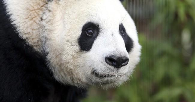 Giant panda 'believed' pregnant at Edinburgh Zoo