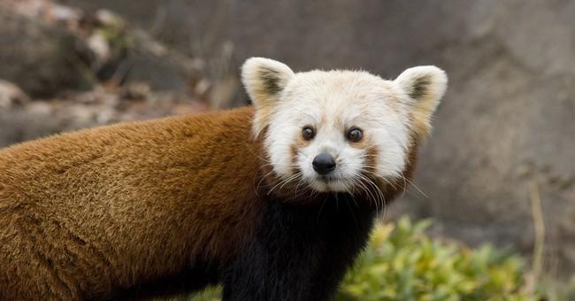 Red panda dies after brain disorder at Smithsonian