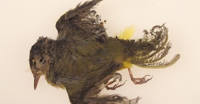 Emerging solar plants scorch birds in mid-air