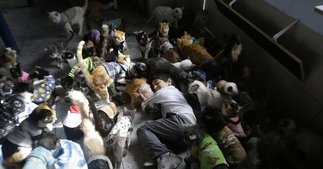 AP PHOTOS: Peruvian nurse cares for 175 sick cats