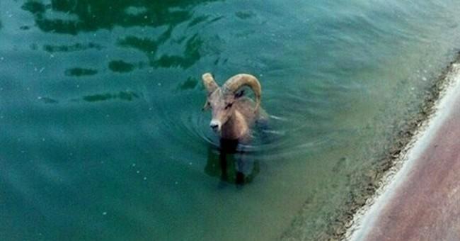 Bighorn sheep escapes canal in California desert