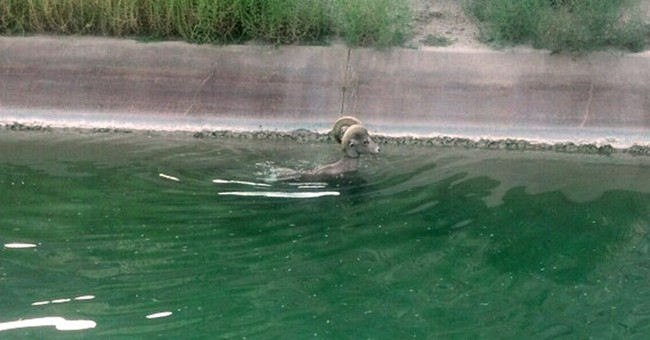 Bighorn sheep escapes canal in California desert