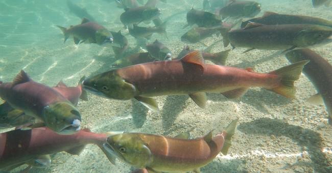 Salmon numbers jump at central Idaho mountain lake