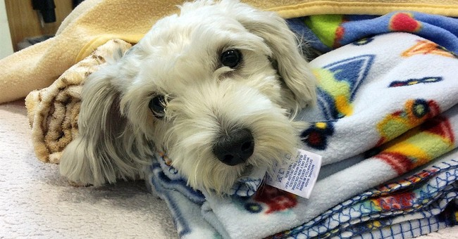 Vets work to save leg of dog hit by stolen van