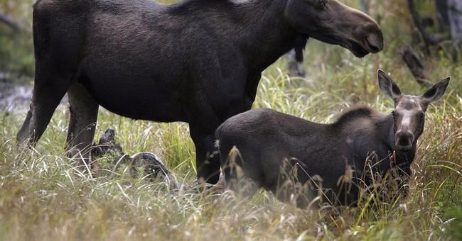 Moose populations down as winter ticks cull herd