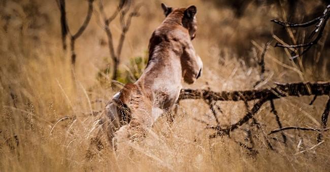 Officials catch cougar roaming Utah neighborhoods