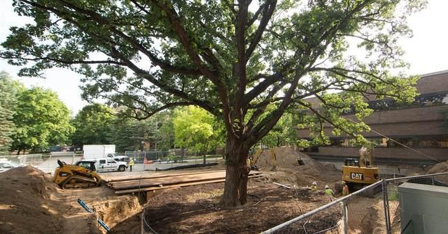 University of Michigan moving centuries-old tree