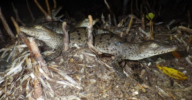 Research: Florida Everglades crocodile numbers up