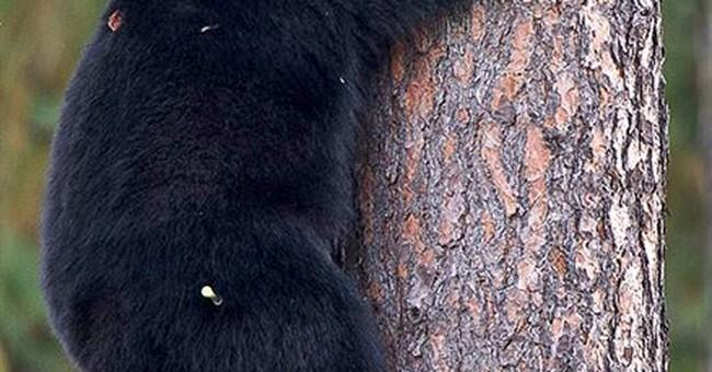 Tranquilizer dart ends black bear's school visit