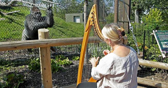 Harpist's mellow tone soothes apes at St. Paul zoo