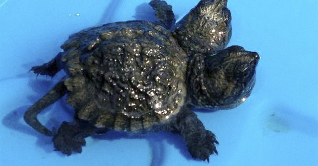 Maine woman finds 2-headed baby snapping turtle