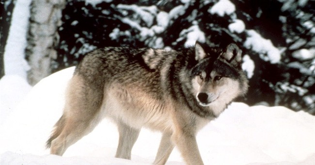 Conservation groups oppose Wyoming wolf management