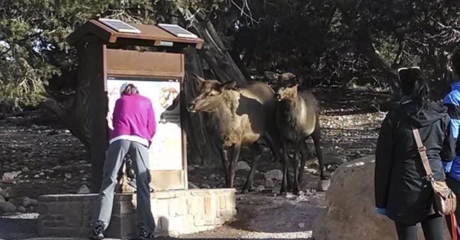 Elk nose into Grand Canyon water stations