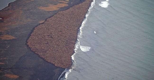 35,000 walrus come ashore in northwest Alaska
