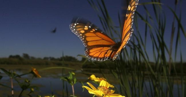 Study: Monarch butterflies evolved in N. America