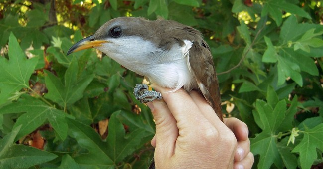 Yellow-billed cuckoo named a threatened species