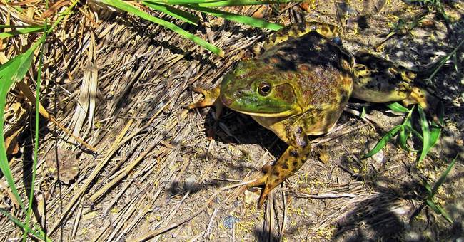 Invasion of voracious bullfrogs spreads in Montana