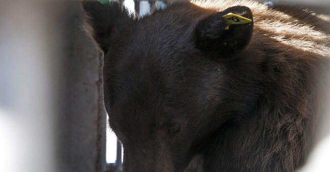 Surge in Sierra bears reported; 9 caught in 2 days