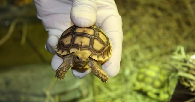 Detroit Zoo cares for turtles found at airport