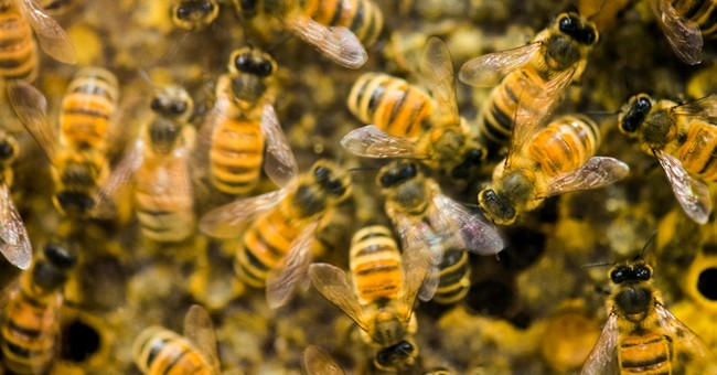 'Zombie' bees identified in Vt., 1st in Eastern US