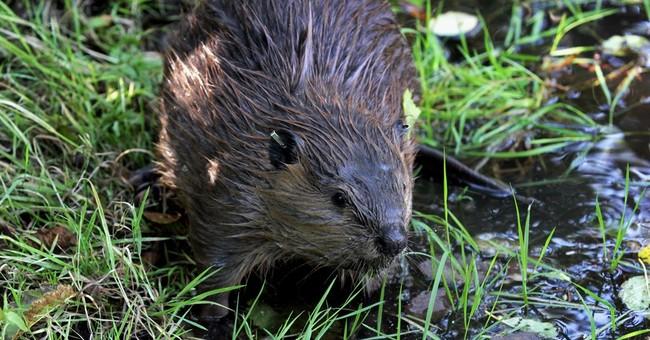 Often pesky beavers put to work restoring streams