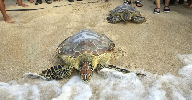 Image of Asia: Olive ridley turtles head into sea