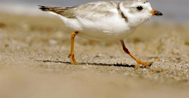 NY barrier island work on hold because of bird