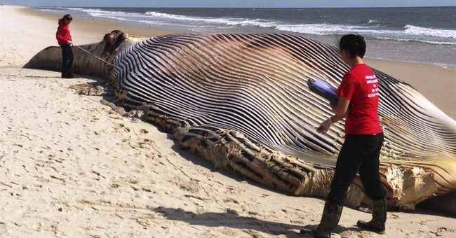 58-foot dead whale washes ashore on Long Island
