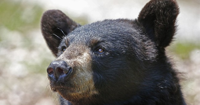 Money pouring into Maine for bear vote fight