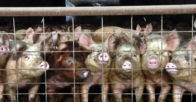 Pig farms rebound from virus; meat prices may drop