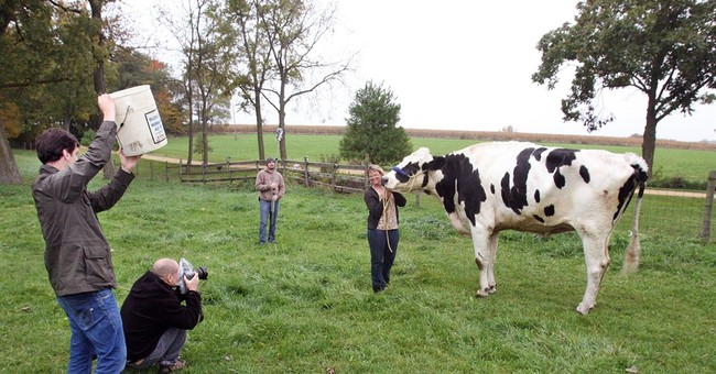 Illinois pet dubbed world's tallest cow