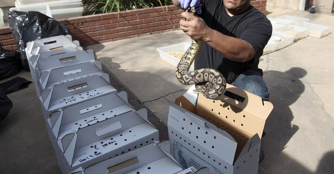 Hundreds of living, dead pythons found in home