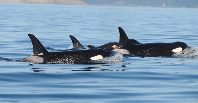 Newborn Puget Sound killer whale presumed dead