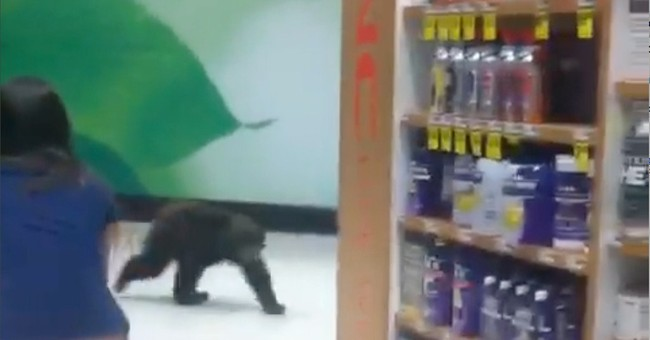 Wildlife rehab for bear found in Oregon drugstore