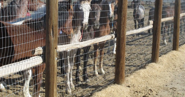 Feds to gather 'nuisance' mustangs in Nevada