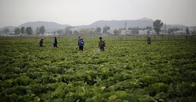 AP PHOTOS: North Korea farmers expect good harvest