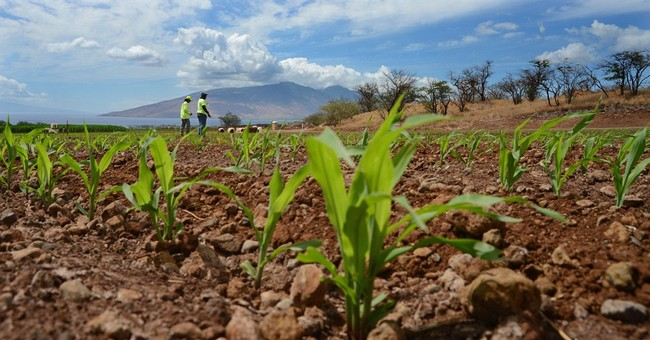 Maui voters to decide whether to ban GMO crops