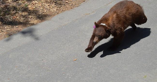 Yosemite rangers try to keep hungry bears at bay